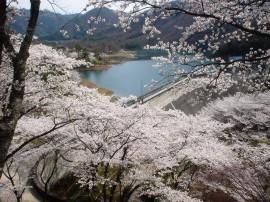 大野ダム桜